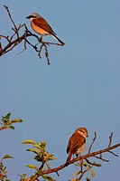 red_backed shrike Lanius collurio, pair sitting on a apple tree, Austria, Burgenland