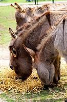 Eating donkeys.