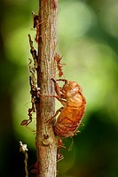 Close-up of a mass of red ants Cataglyphis velox/Formicidae devouring a beetle