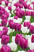 Colorful tulip flowers in Spring