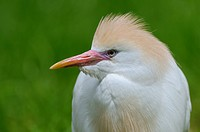 cattle egret, buff_backed heron Ardeola ibis, Bubulcus ibis, portrait of an adult with breeding plumage