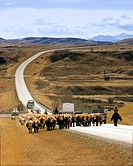 Cattle Drive, Longview, Alberta.