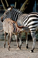Zebra fedding