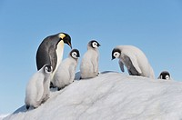 Emperor Penguin Aptenodytes forsteri adult and chicks climbing on ice hill  Snow Hill Island, Antarctic Peninsula, Antarctica
