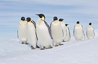 Emperor Penguin Aptenodytes forsteri group of adults  Snow Hill Island, Antarctic Peninsula, Antarctica