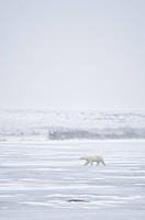 Polar bear walking over tundra on the shores of Hudson Bay, Manitoba, Canada