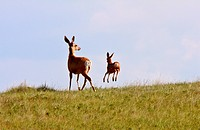 Mule Deer doe and fawn in Saskatchewan