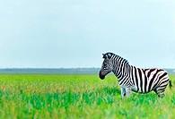 Zebra in the spring steppe