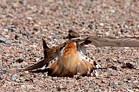 Killdeer doing its broken wing act
