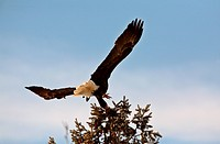 Bald Eagle taking flight from tree