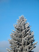 conifer covered with snow
