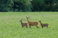 Roe deer with fawns, Capreolus capreolus, Hessen, Germany, Europe