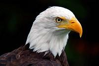American Bald Eagle Haliaeetus leucocephalus