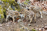 Wild boar _ cubs / Sus scrofa