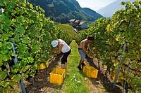 lavoratori italiani durante la vendemmia, aigle, svizzera