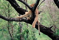 African lion asleep in a tree