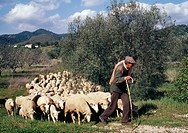 Shepherd leading his flock