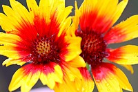 Water droplets on Brown_eyed Susan wildflowers in Alberta