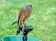 lovely bird of prey in show