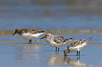 Sanderlings Calidris alba / Crocethia alba / Erolia alba wading in shallow water on beach, Wadden Sea, Germany