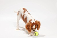Cavalier King Charles Spaniel, puppy, blenheim, 4 1/2 months / toy, ball