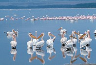 Pelicans Standing in Calm Water