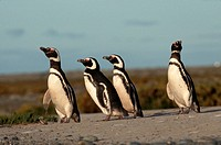 Magellanic penguins stand near their sagebrush nests.