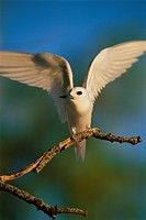 White Tern