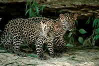 A pair of young leopard cubs walking together.