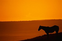 Silhouette of Wild Mustang