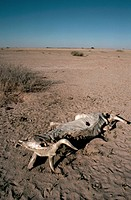 The carcass of a domestic cow lies on the dry soil of a an area in Botswana plagued by an El Nino drought.