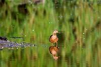 Female Mallard Water Reflection.