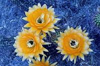 Blooming Trichocereus Cactus