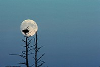 The full moon silhouettes an eagles´ nest atop a craggy tree in Wisconsin.