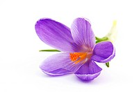 crocus flowers f spring