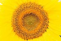 Center of a Sunflower