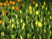 Tulip_yellow_orange