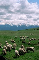 A flock of sheep graze a pasture in the shadow of the Wallowa Mountains. Near Enterprise, Oregon, USA.