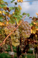 Riesling grapes at harvest time in an Alsace vineyard begin to show signs of noble rot, or Botrytis cinerea. The rot increases the sugar content, acid...