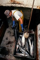 A fisherman unloads his catch of albacore tuna from a cargo hold.