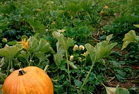 Pumpkins in Field at Ross Farm Museum