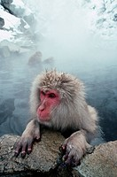 A Japanese macaque holds on to a rock at the edge of a hot spring. Shiga Highlands, Japan