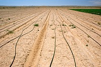 Water supply tubes run the length of furrows in a cabbage field on an experimental farm. Salt water is used for its irrigation. Ashalim, Israel.
