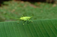 A green horned katydid crawls on a leaf in a rainforest near Braulio Carrillo National Park, Costa Rica