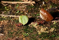Two leaf cutting ants carry leaves on the floor of a rainforest in Costa Rica