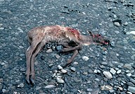 A woodland caribou calf dead from drowning lays river pebbles in shallow water. Arctic National Wildlife Refuge, Alaska