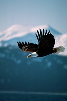 A bald eagle flies near mountains in Alaska.