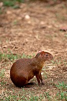The Profile of a Brown Agouti