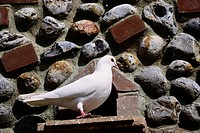 White Dove at Birdhouse
