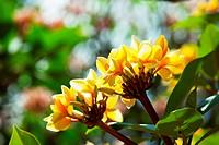 Hawaian flowers